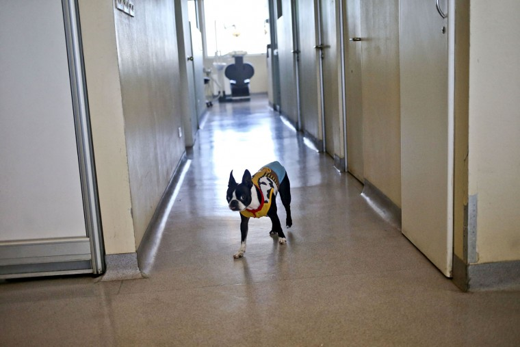 "In this April 28, 2017 photo, therapy dog Perry walks through the dental area of Los Andes University Medical Center on the outskirts of Santiago, Chile. Perry is a member of a non-profit organization called Junto a Ti (""Next to You"") that specializes in visits to the dentist for autistic children. Perry is a member of a six dog, all female team that has aided about 50 children visiting the clinic. (AP Photo/Esteban Felix)"