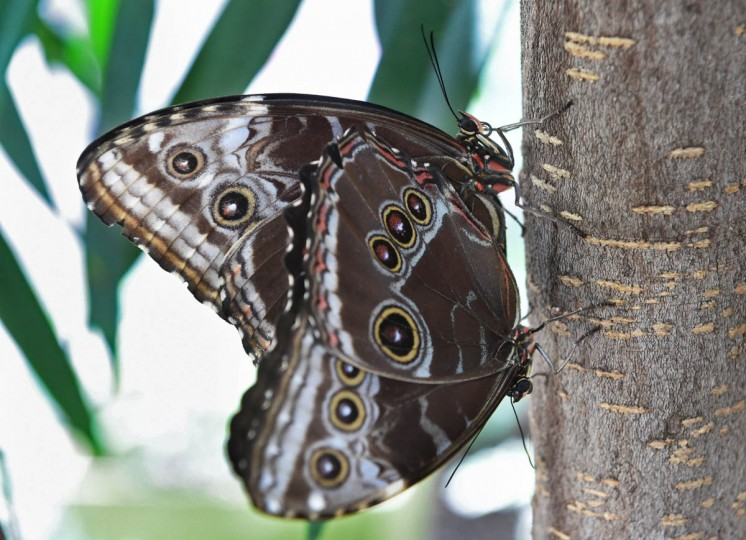 A mating pair of Blue Morpho butterflies (Morpho peleides) in the Wings of Fancy exhibition at Brookside Gardens South Conservatory. (Kenneth K. Lam/The Baltimore Sun)