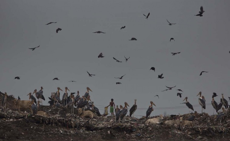An Indian ragpicker boy searches for recyclable material amid Greater Adjutant stork birds and cows at a garbage dumping site on the outskirts of Gauhati, Assam state, India, Monday, June 5, 2017. Monday marks World Environment Day. (AP Photo/Anupam Nath)