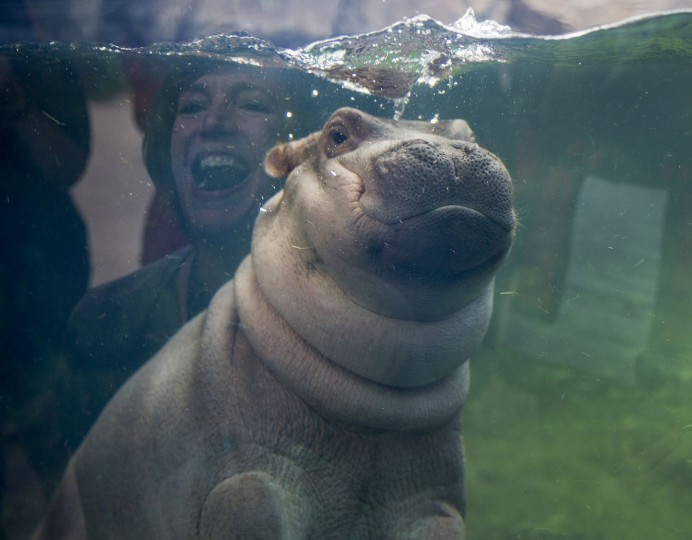 Fiona makes her debut to the media in Hippo Cove at the Cincinnati Zoo and Botanical Garden, May 31, 2017, in Cincinnati. The zoo emphasizes she isn't ready for public display but the media-only event was a step toward that. Fiona was born Jan. 24, weighing 29 pounds (13 kilograms). (Liz Dufour/The Cincinnati Enquirer via AP)