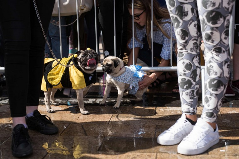 Pug dogs and their owners enter the competition for the 'pug dressed in the best outfit' at PugFest Manchester, a festival celebrating pugs and pug cross dogs, held at MediaCityUK in Salford, Greater Manchester, northern England on July 16, 2017. (OLI SCARFF/AFP/Getty Images)