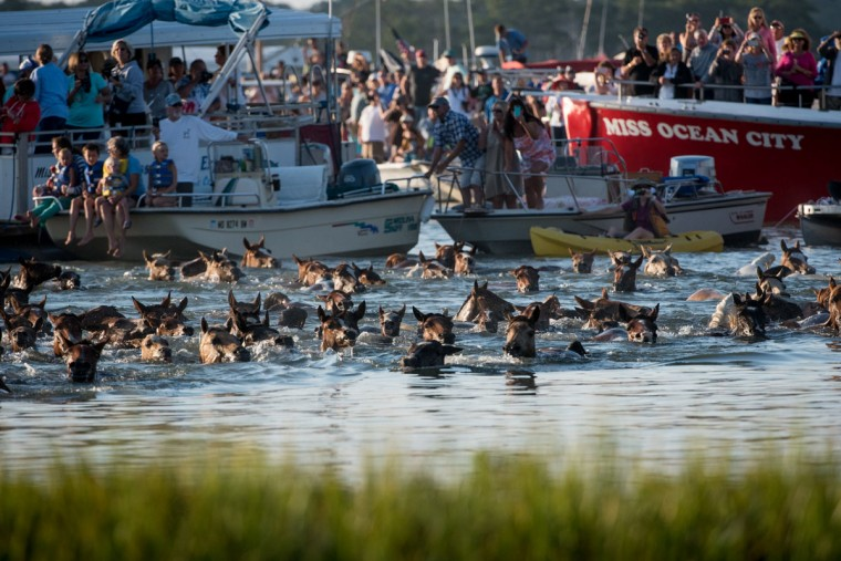 "Attendees watch from boats as wild ponies swim by from Assateague Island to Chincoteague Island, Va., during ""slack tide"" at the 92nd Annual Chincoteague Pony Swim on Wednesday, July 26, 2017. (Michael Ares / The Baltimore Sun)"