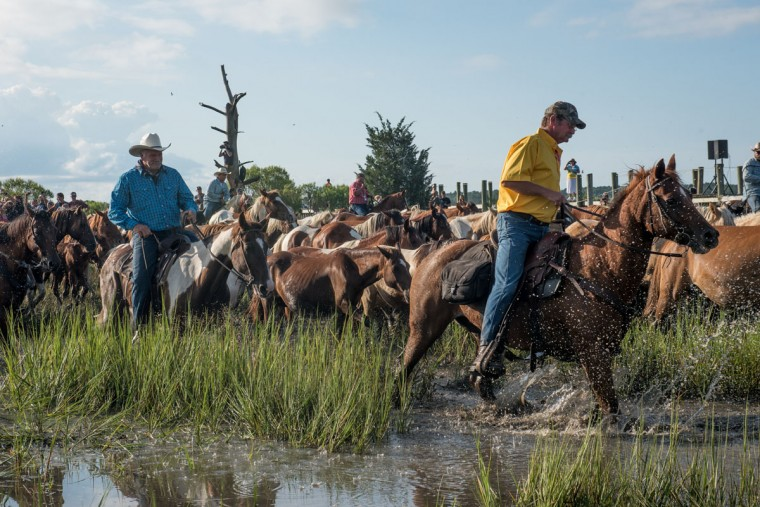 "The Saltwater Cowboys lead ponies and horses to the carnival fairgrounds after swimming from Assateague Island to Chincoteague Island, Va., during ""slack tide"" at the 92nd Annual Chincoteague Pony Swim on Wednesday, July 26, 2017. (Michael Ares / The Baltimore Sun)"