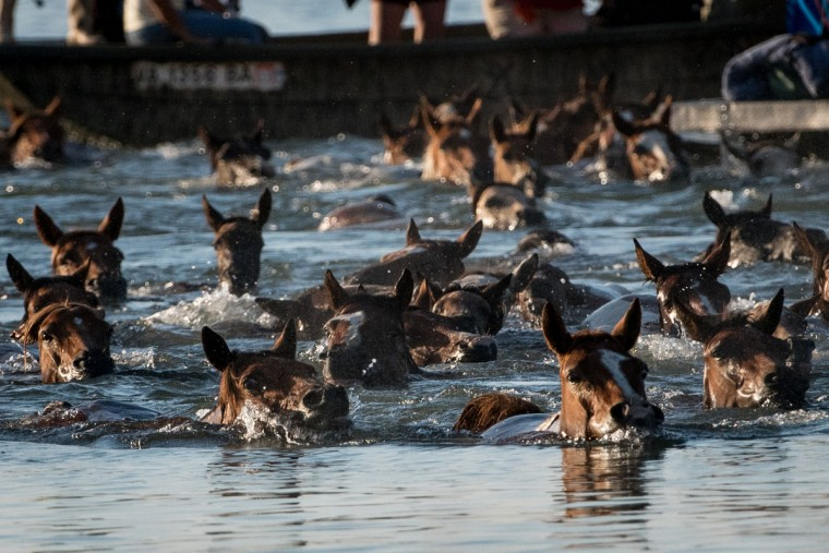 "Wild ponies swim from Assateague Island to Chincoteague Island, Va., during ""slack tide"" at the 92nd Annual Chincoteague Pony Swim on Wednesday, July 26, 2017. (Michael Ares / The Baltimore Sun)"