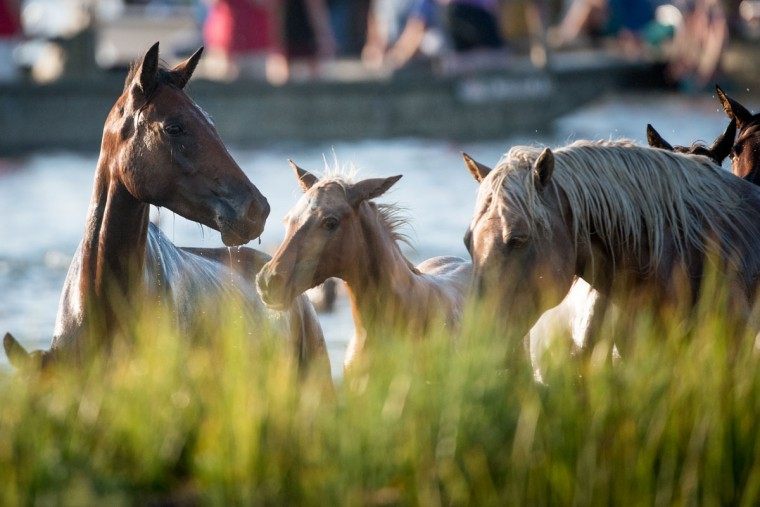"Ponies and horses emerge on to land after swimming from Assateague Island to Chincoteague Island, Va., during ""slack tide"" at the 92nd Annual Chincoteague Pony Swim on Wednesday, July 26, 2017. (Michael Ares / The Baltimore Sun)"