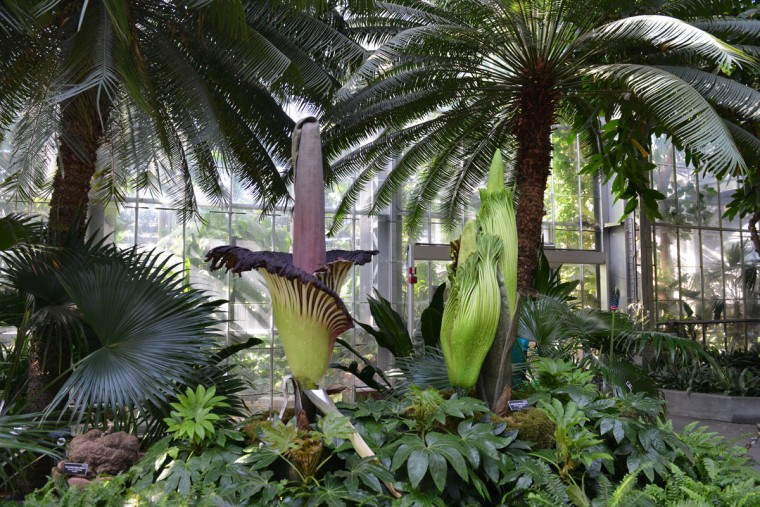 "A USBG spokesman said it's ""absolute coincidence"" that the three plants began blooming around the time of the historic eclipse yesterday. In the northern hemisphere, corpse flowers are generally known to bloom in the hottest months of July and August in this region, which closely mimics the native habitat of Sumatra, said Mims. (Photo and caption courtesy of USBG)"
