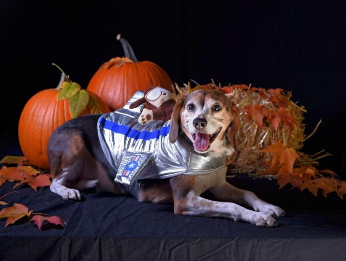 Winston, an 8-year-old Beagle, poses in a plane costume. (Karl Merton Ferron/Baltimore Sun)