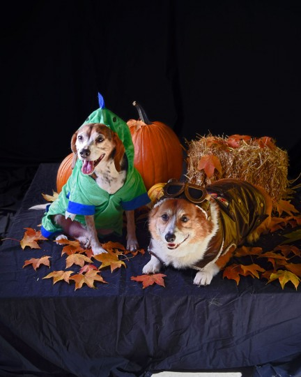 Winston, an 8-year-old Beagle, and Flash, a 12-year-old Welsh Pembroke Corgi, poses in Halloween costumes. (Karl Merton Ferron/Baltimore Sun)