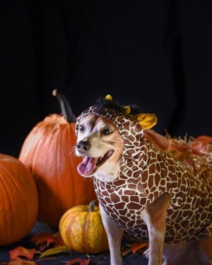 Winston, an 8-year-old Beagle, poses in a giraffe costume. (Karl Merton Ferron/Baltimore Sun)