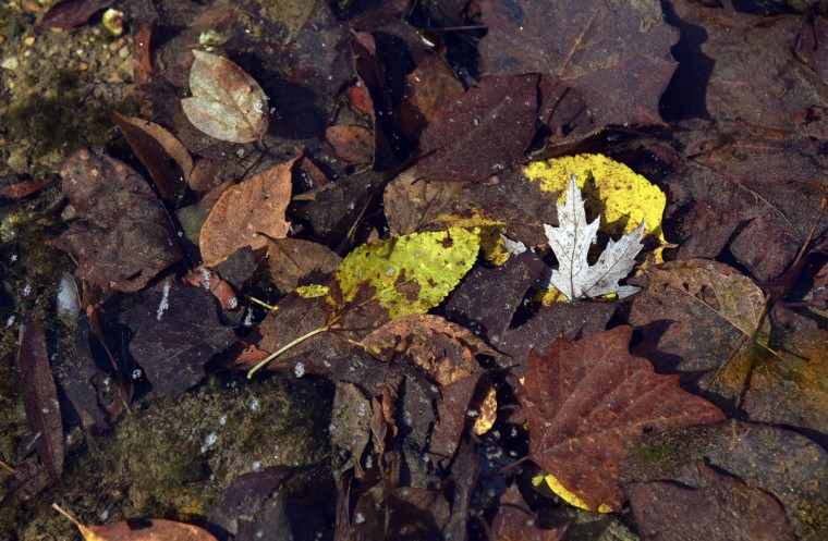 Leaves are under water in the Gunpowder River. (Barbara Haddock Taylor/Baltimore Sun)