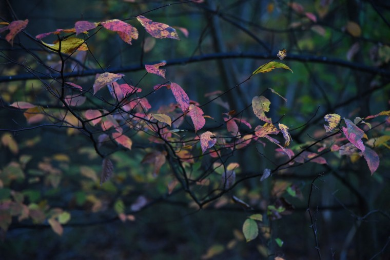 Fall colors on a tree in Glen Arm. (Barbara Haddock Taylor/Baltimore Sun)