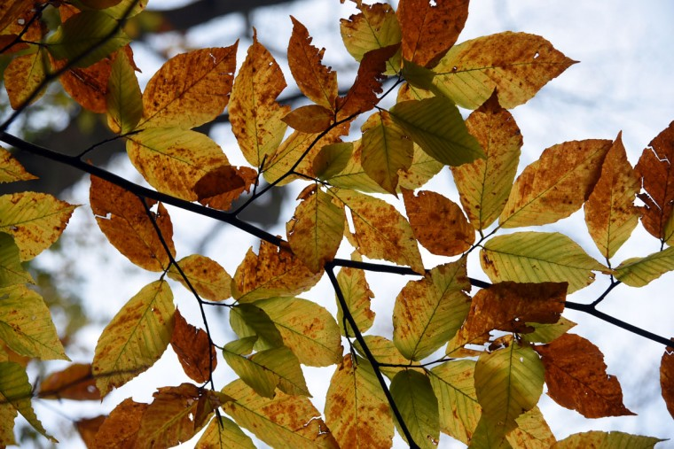 Fall colors on a tree in Glen Arm. (Barbara Haddock Taylor/Baltimore Sun)