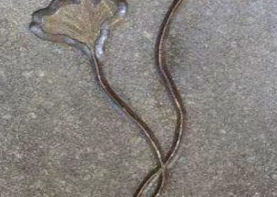 Lily Fossil Restoration