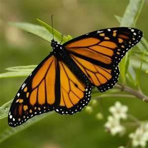 monarchs contain cardiac glycosides which can make birds violently ill after eating the butterfly - Uf Butterfly Garden