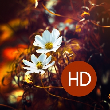 600+ HD Flower Wallpapers Free!