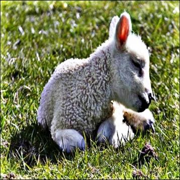 Lamb s -  Soft Animals that Babies Love