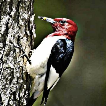 Woodpeckers - Bird Watchers Sound Guide