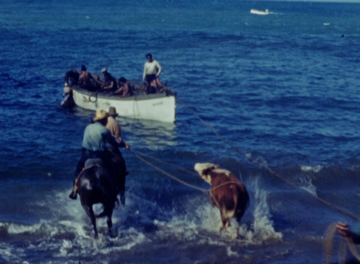Loading Cattle Thru the Surf