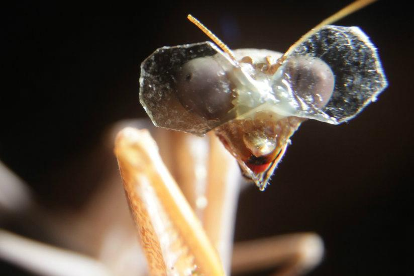 Praying Mantis Dons 3d Glasses For Research Into Depth