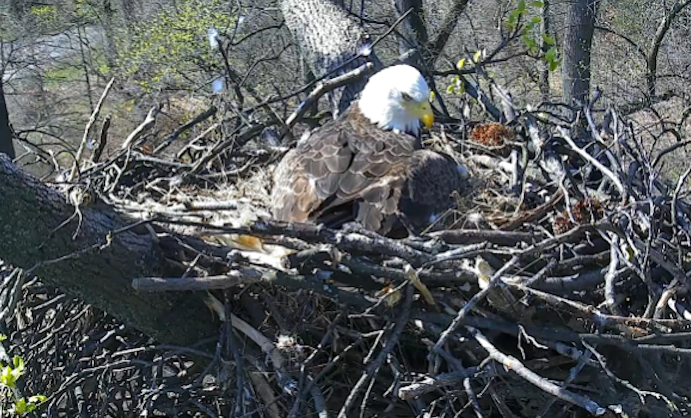 Bald eagle eggs about to hatch in Washington's National Arboretum