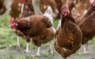 Let The Hens Out! Cage Free Eggs