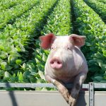 In the News: Soybeans and Pork and China Trade