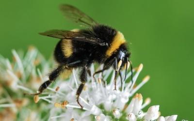 bee-bumblebee-insect-macro-medium