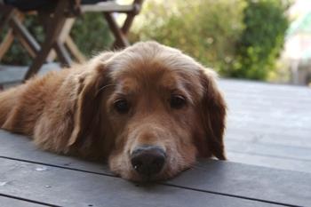Cody_the_miracle_dog_medium