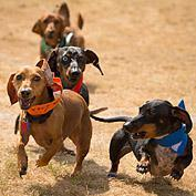 15th Annual Buda Country Fair and Wiener Dog Races