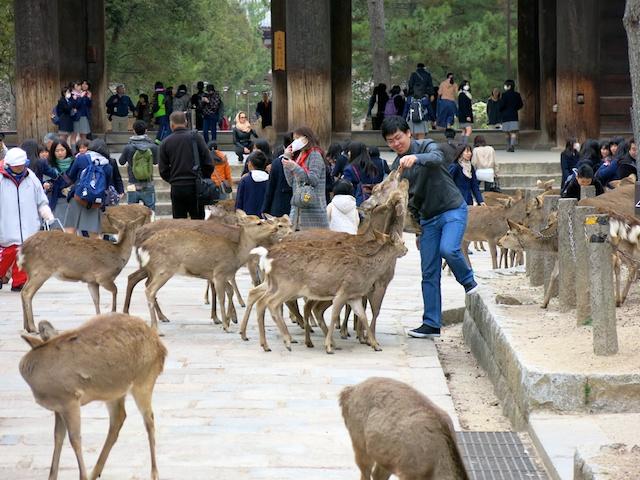 Sacred deer, Nara Park, Japan