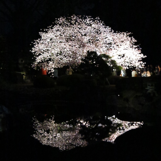 Cherry blossoms at night, Nijo Castle, Kyoto, Japan
