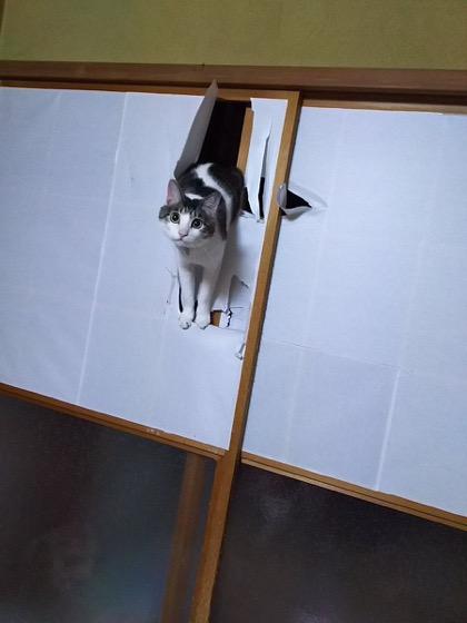 Cat versus shoji