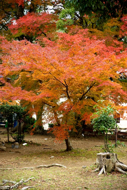 Hikone's most colorful tree