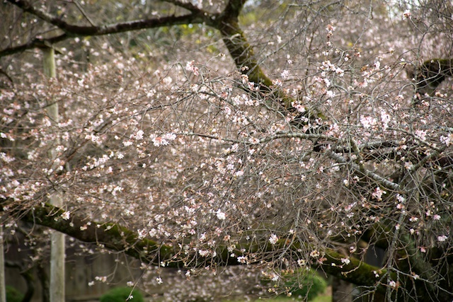 Twice-blooming cherry trees at Kyoto Botanical Garden