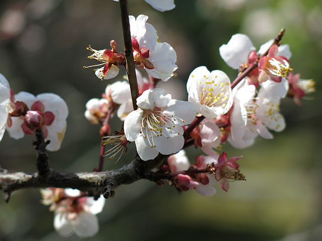 Early blossoms at Shoseien