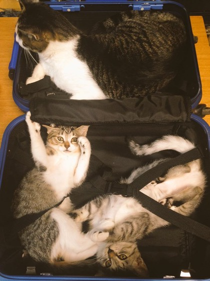 Suitcase cats