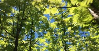 Spencer-finch-redwood