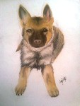 Drawing: Alsatian
