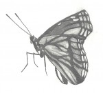 Drawing: Butterfly