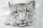 Drawing: Snow Leopard