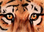 Drawing: Tiger Eyes