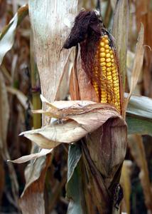 Field_corn_002