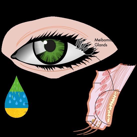 meibomian glands