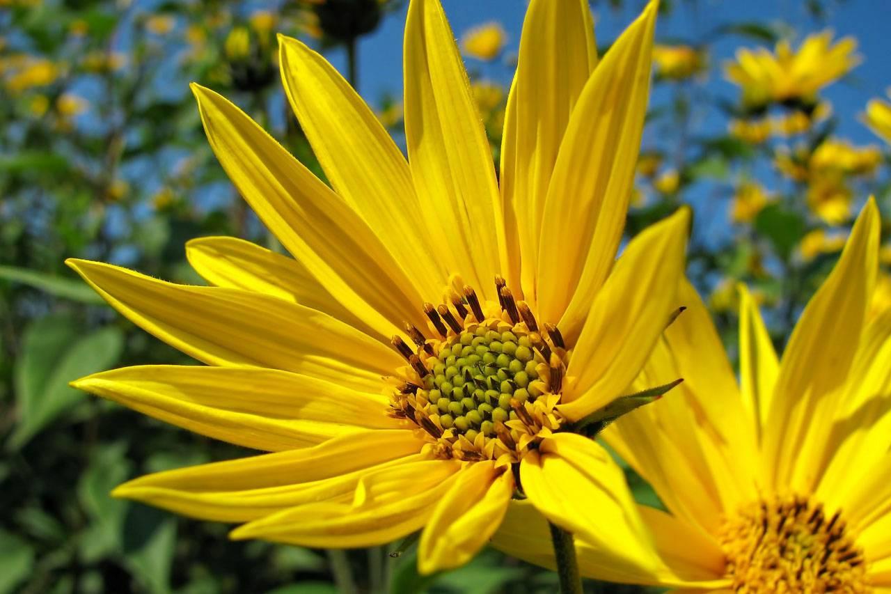 Big Yellow Sunflowers 1280×853.jpg