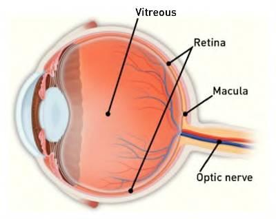 Medical illustration of eye