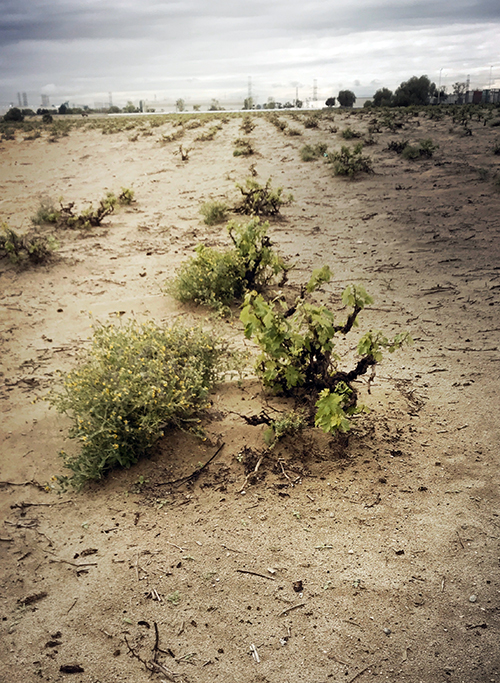 The Ecology and Metaphysics of Ancient Vineyards in California: Session 1 Saturday May 30 at 2 PM PDT-- via Zoom - the scholium project