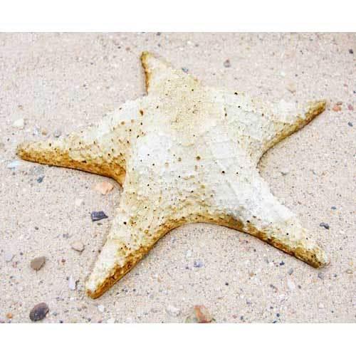 Starfish Pacific 11