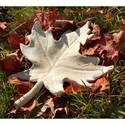 Maple Leaf 14