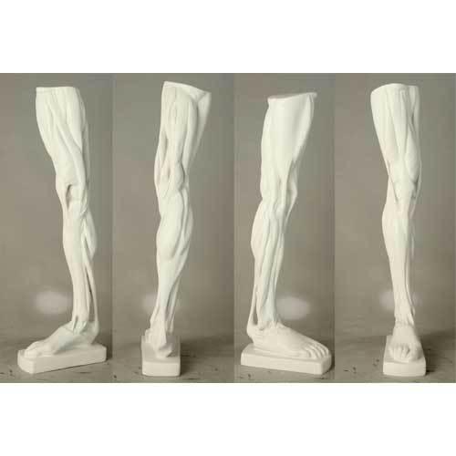 Anatomical Leg