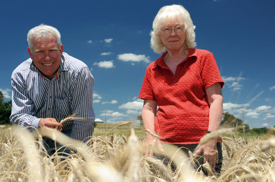 CSIRO researchers, Dr Richard James and Dr Rana Munns, examine a salt-tolerant wheat trial near Canberra